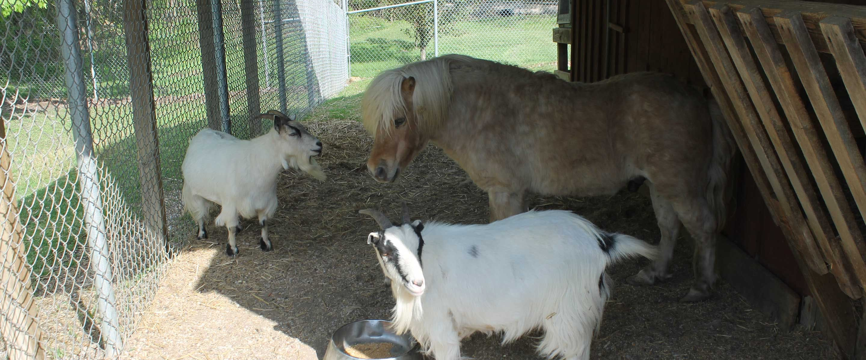horse, goat, and more for petting at the petting zoo