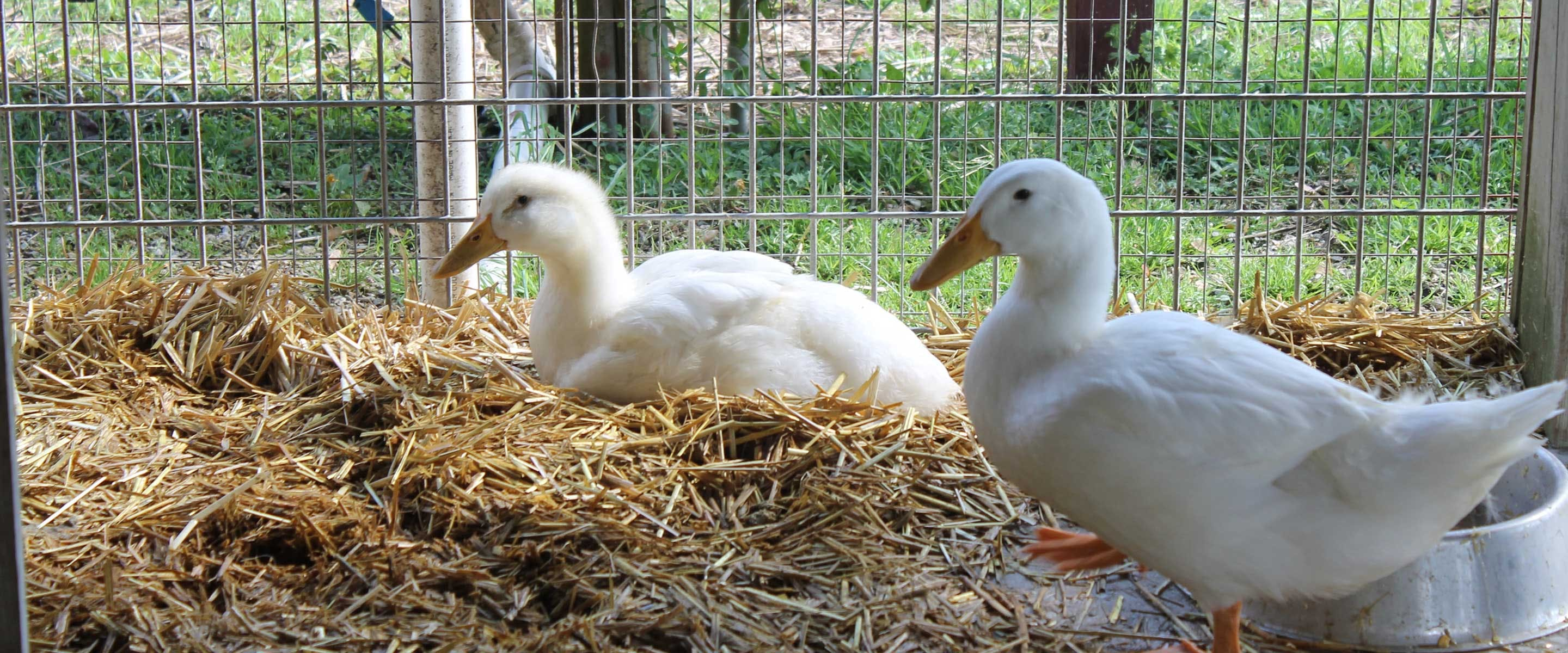 two white ducks enjoying the straw bed